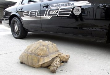 The giant tortoise failed to outrun the police, but damn it did he try. Good effort Clark.