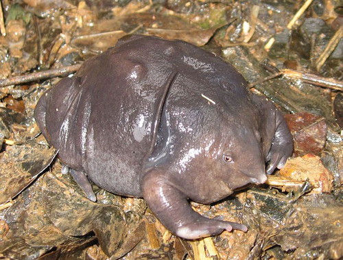 aindianpurplefrog