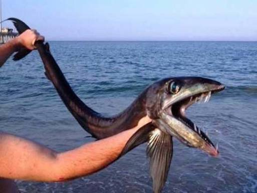 aLancetFish