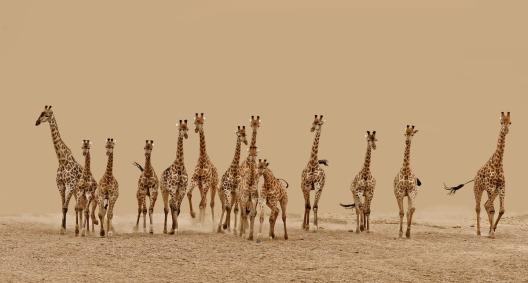 GiraffeStampede