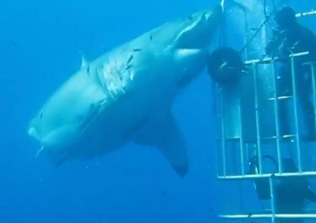 One of the biggest great white sharks ever caught on tape