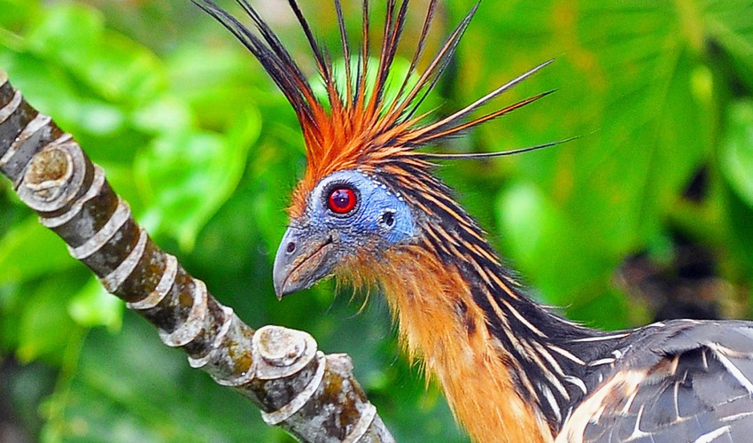 Cool Animal of the Day  The Stinkbird   Shoe  Untied