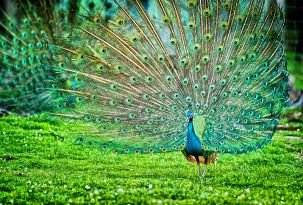 Peacock_by_Nihal_Jabin