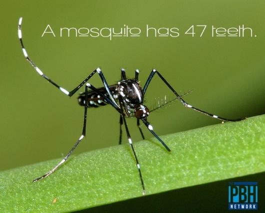 mosquito-teeth