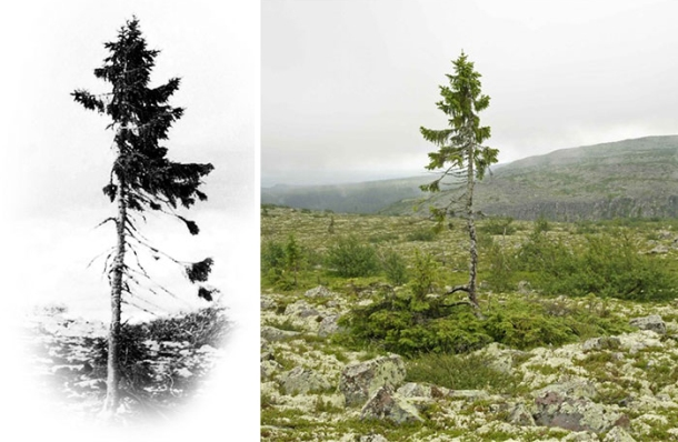 oldest-tree-old-tjikko-sweden-coverimage1 (1)