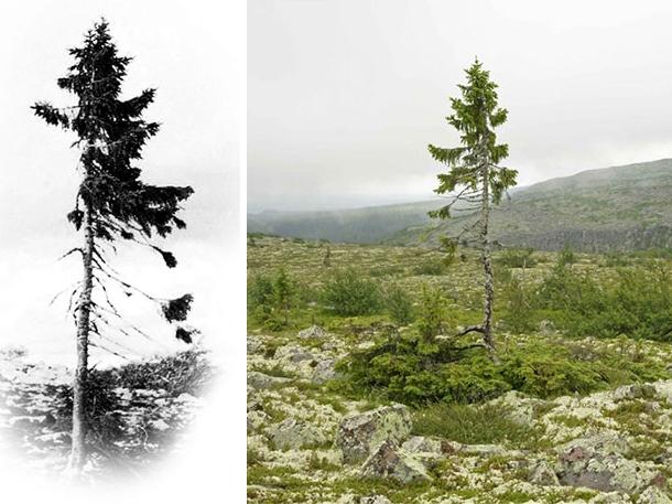 oldest-tree-old-tjikko-sweden-coverimage1 (1)