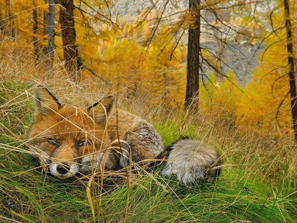 AnimalFox