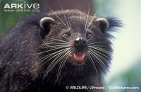 Binturong-close-up-showing-whiskers