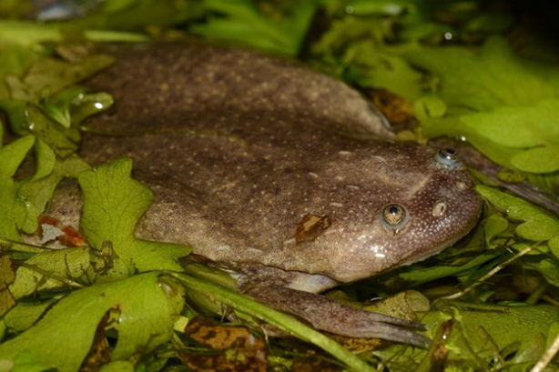 clawed-frog-1
