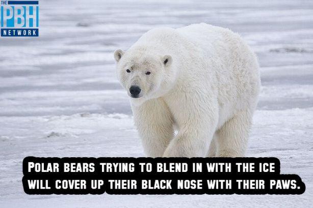 polar-bear-camouflage