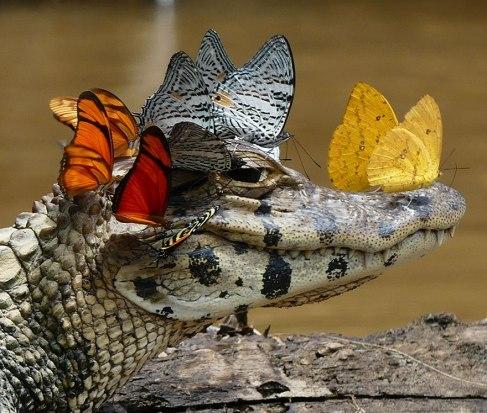 caimain-butterflies-drinking-tears-mark-cowan-2