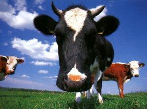 cow_face_wallpaper-29099