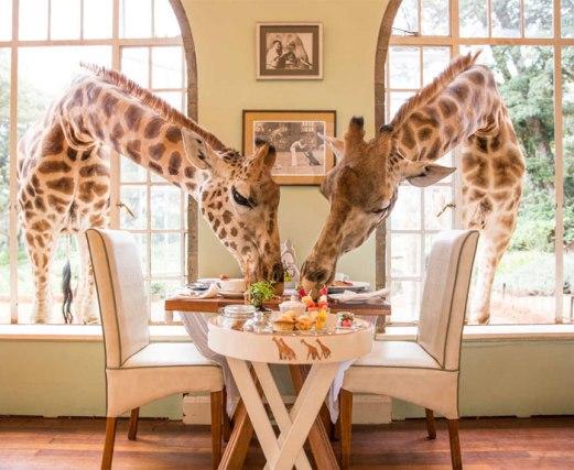giraffephoto