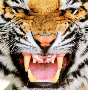 mean-tiger-face