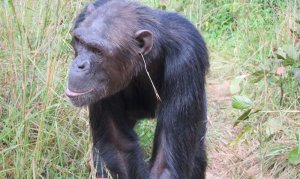 chimpanzee_fashion