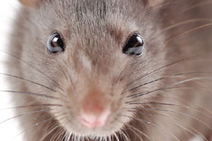 rat-cheeseedited