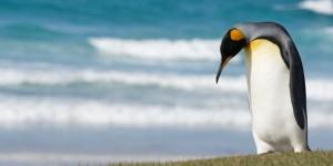 King penguin (Aptenodytes patagonicus) Saunders Island - The Neck Falkland Islands