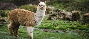 alpaca-shearing_1024x1024