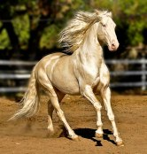 beautiful-horse-shiny-blonde-hair-akhal-teke-5
