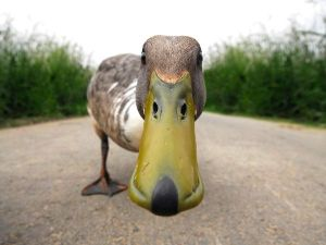 funny-duck_12551_600x450
