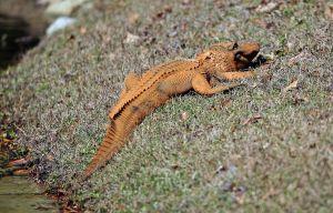 Yep. Orange gator.