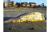 a-local-veterinarian-determined-this-creature-to-be-a-lost-atlantic-sturgeon-a-fish-that-can-grow-up-to-be-15-feet-long-and-weigh-800-pounds