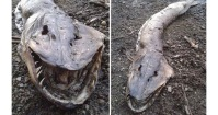 measuring-in-at-five-feet-long-the-roch-ness-monster-was-discovered-on-the-shore-of-hollingsworth-lake-in-rochdale-manchester