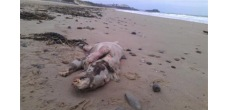 no-one-is-sure-what-this-creature-that-washed-up-on-the-shores-in-the-uk-is