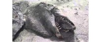 none-of-the-residents-near-pukehina-beach-in-new-zealand-knew-what-this-creature-was-when-it-washed-up-onto-shore-after-a-storm-but-experts-later-determined-it-to-be-the-carcass-of-an-or