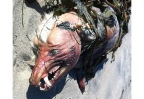some-called-it-the-goatsucker-whereas-others-said-it-was-a-devil-dog-but-regardless-of-its-nickname-no-one-knows-what-this-creature-that-washed-up-in-san-diego-california-is
