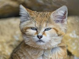 sandcat1
