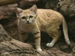 sandcat2