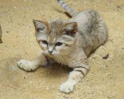 sandcat3