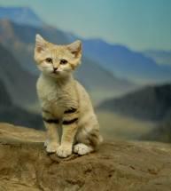 sandcat4