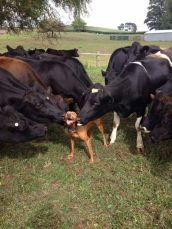 More cow on dog love.