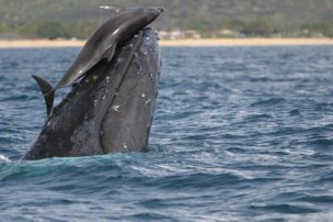 dolphin-riding-whale.jpg.653x0_q80_crop-smart