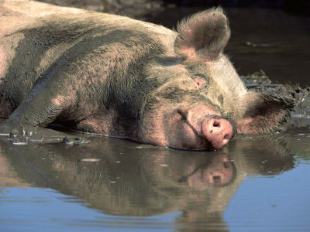 Australian Pig Steals 18-Beers From Campers, Gets Drunk, Fights Cow