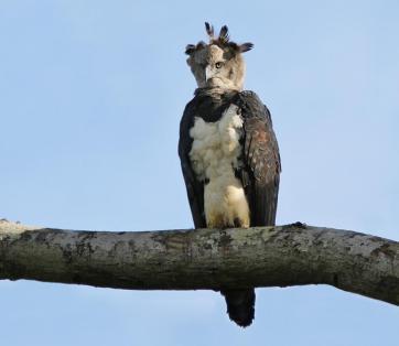 harpy_eagle__harpia_harpyja_imataca_venezuela_february_4_2007_2_1024