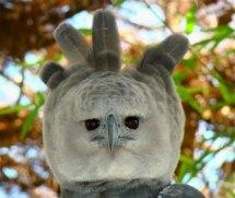 harpy_eagle_close_up