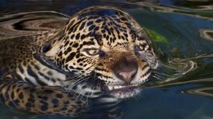 jagswim