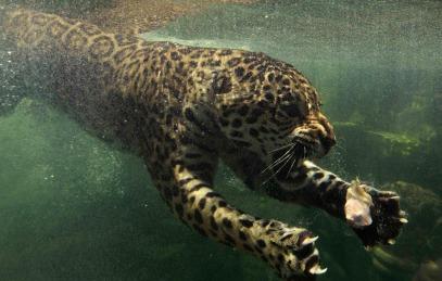 Jaguar swims towards his food that was dropped in water during feeding time at Taman Safari Indonesia in Bogor