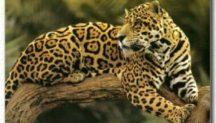 jaguar-onca-1024x585