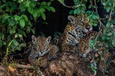 jaguar-trafficking-south-north-america-threats-10.adapt.885.1