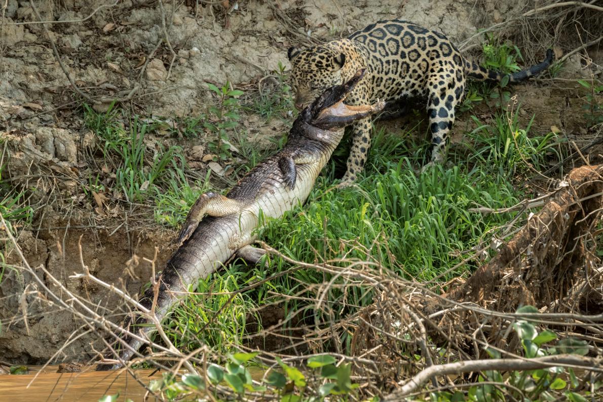 Lovely The Secret World Of Jaguars Is Riveting Stuff » Jaguar Trafficking South  North America Threats 13.adapt.1190.1