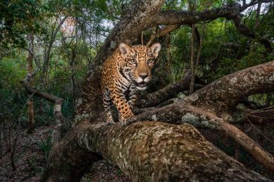 jaguar-trafficking-south-north-america-threats-8.adapt.1190.1