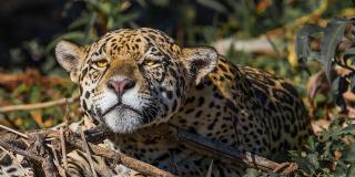 jaguar_jeffery-armstrong