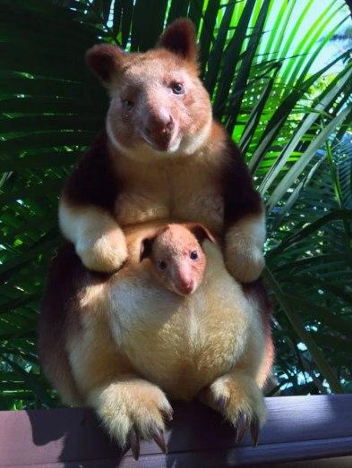 tree-kangaroo-1-5a16bc0a6ea42__700