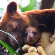 tree-kangaroo-257-5a16883f3959b__700