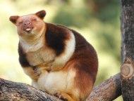 tree-kangaroo-264-5a1692d240df5__700