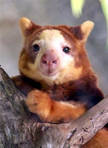 tree-kangaroo-279-5a16c860a9b5f__700